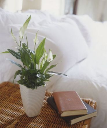 Lírio da paz (Spathiphyllum wallisii Regel)