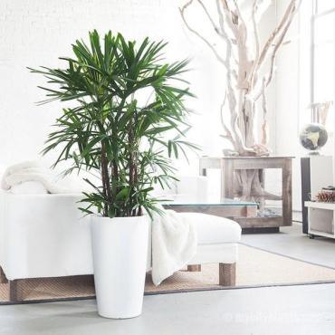 Palmeira ráfia (Rhapis excelsa)
